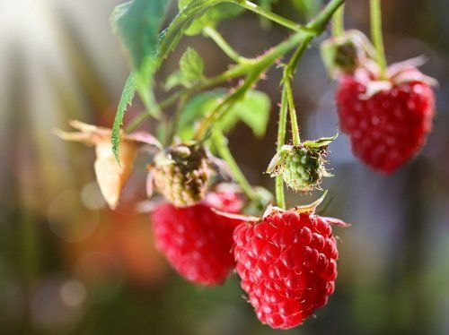 Уже на второй год можно получить урожай ягод
