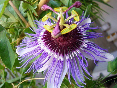 Пассифлора Purple Haze