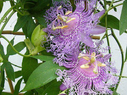 Пассифлора Incense