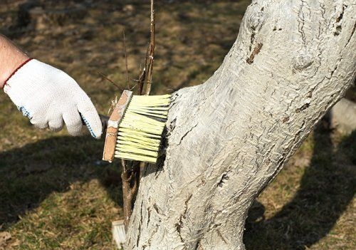 Молодые деревья белить не стоит, только взрослые