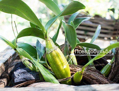Орхидея с псевдобульбой