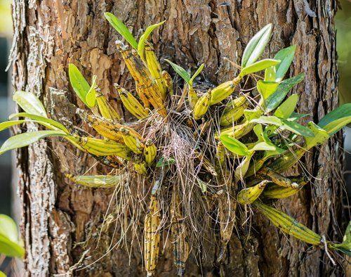 Орхидея - эпифит