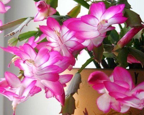 Использовать нужно живые цветы потому как искусственные способны только притягивать купить цветы клеродендрум почтой интернет магазин