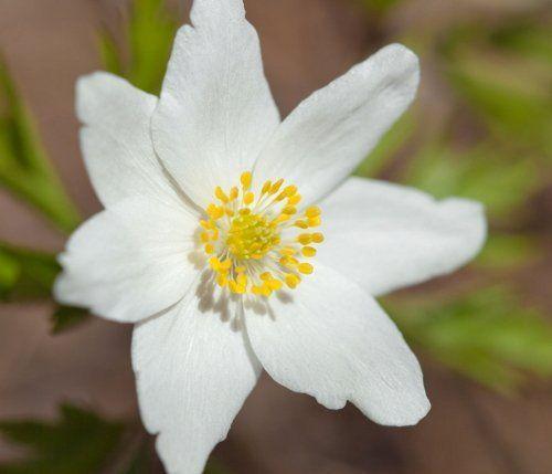 Цветок анемоны лесной