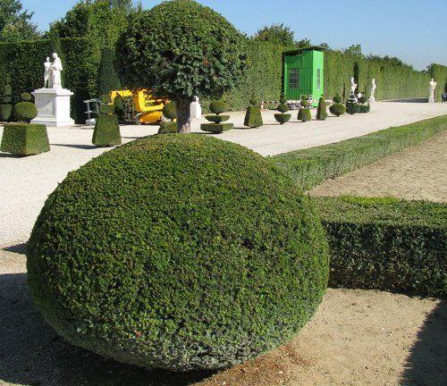 Топиарий из тисса ягодного (Версаль)