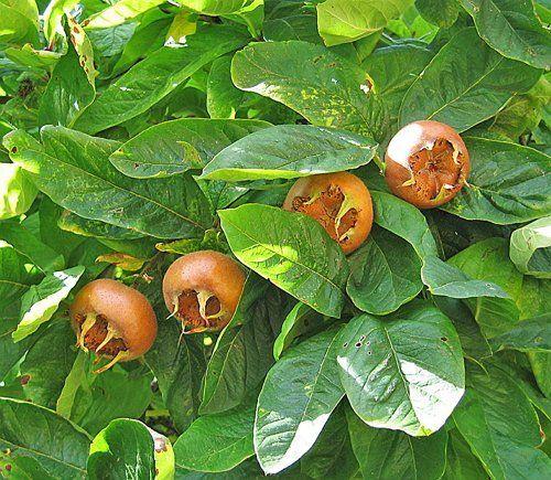 Плоды мушмулы