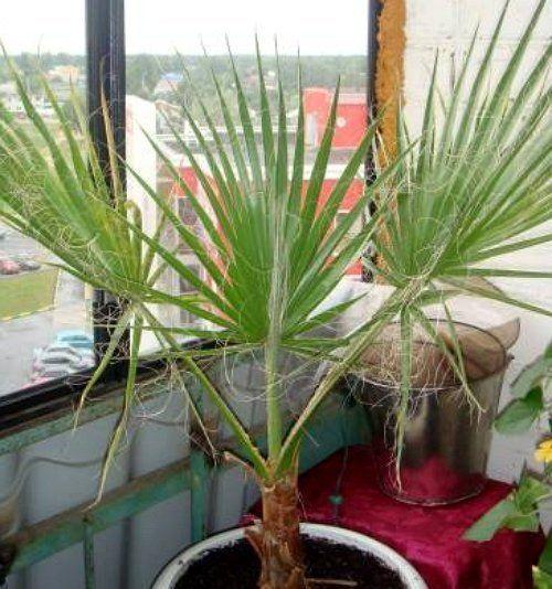 Пальма из семян