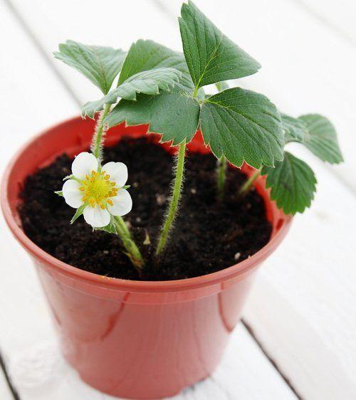 Садовая земляника (клубника)