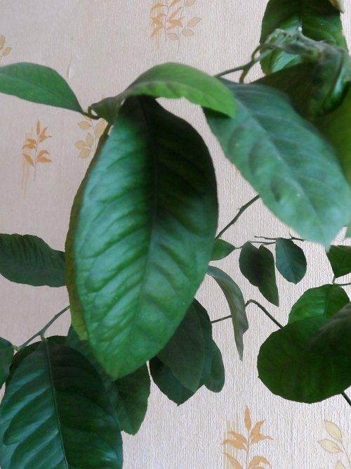 Листья лимона