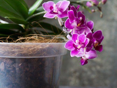 Орхидея в прозрачной емкости
