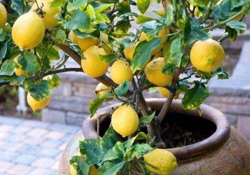 Лимон на балконе
