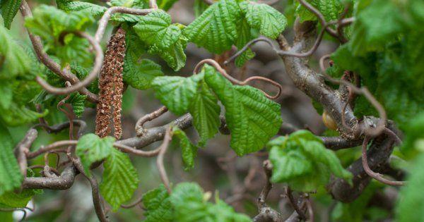 images|cms-image-000003064 Вьющиеся растения для забора быстрорастущие