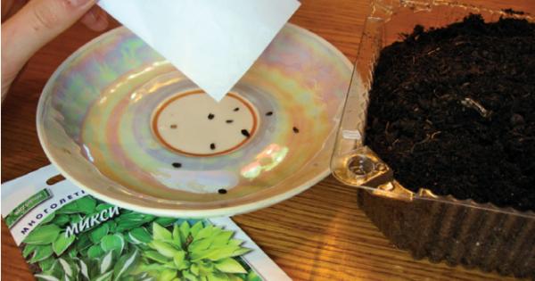 Посев семян хосты