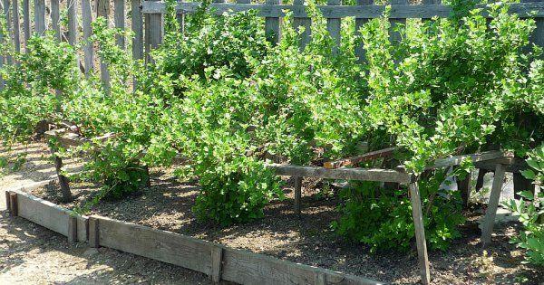 Куда и как посадить крыжовник осенью - Огород, сад, балкон