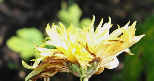 Хризантемы садовые - плюсы и минусы выращивания