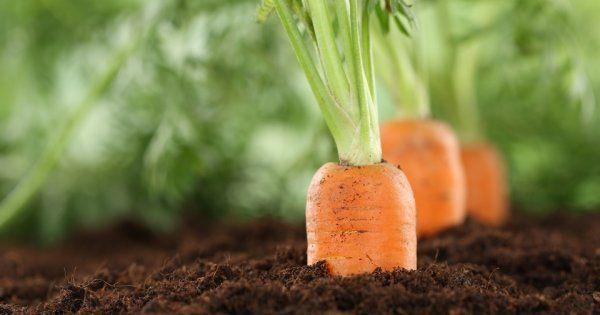 капуста и морковь на грядке