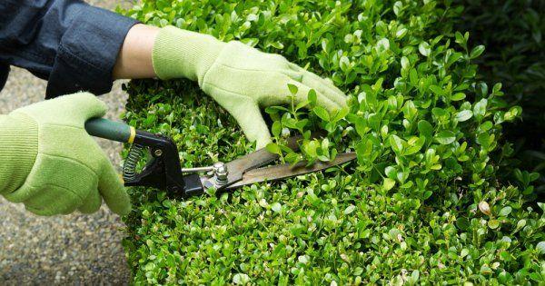 Технология посадки живой изгороди