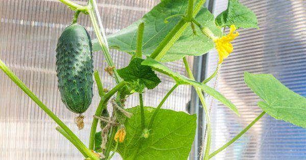 Огурцы на балконе выращивание пошагово чем и когда подкармливать уход и удобрение лучшие сорта в пластиковых бутылках