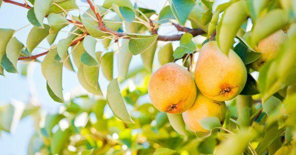 Сладкие сорта груш: летние, осенние
