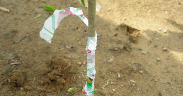 Правильная окулировка плодовых деревьев
