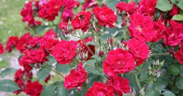 Розы для начинающих розоводов - посадка и уход