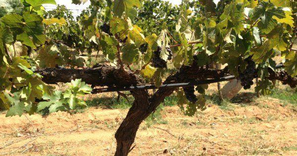 Формирование кустов на винограда