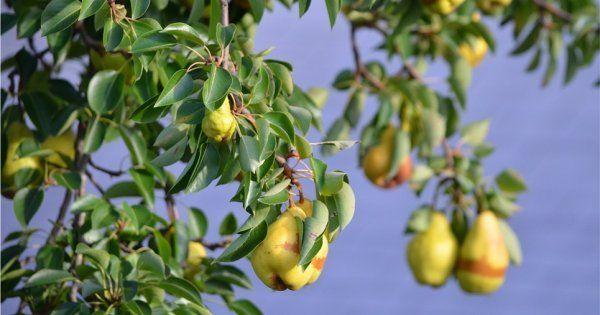 Когда можно сажать грушу осенью