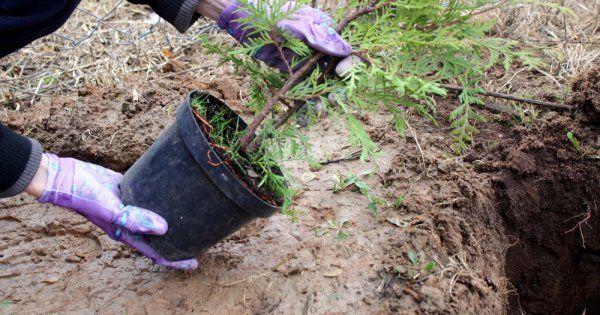 Туя - посадка в открытый грунт выбор саженца подготовка почвы видео