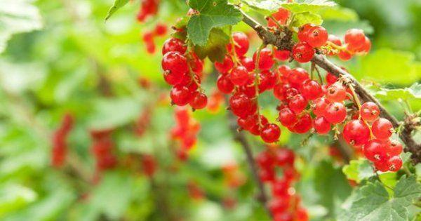 Лучшие сорта красной смородины для Подмосковья