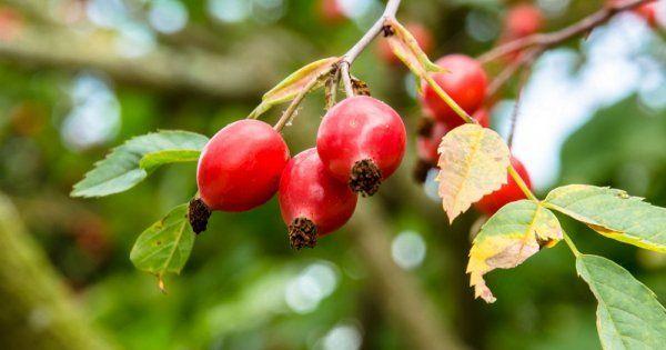 Дерево с плодами как у шиповника