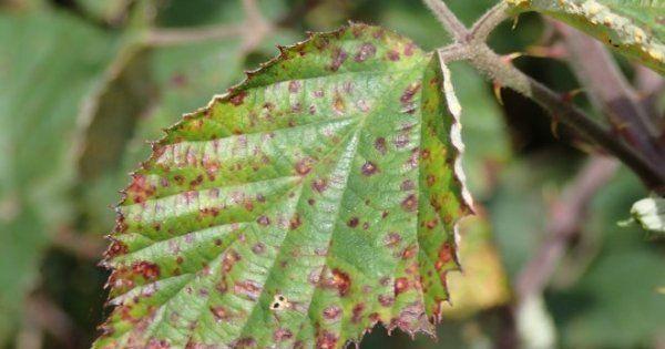 Ржавые пятна на листьях яблони? Как лечить ржавчину, все методы борьбы