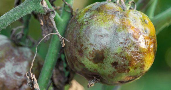 Болезни томатов и их лечение фото: вирусные и грибковые инфекции