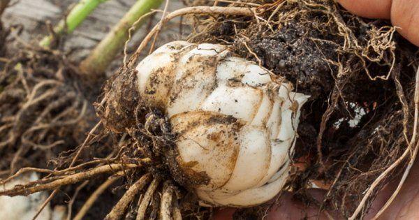 Когда сажать лилии - луковицы в открытый грунт весной и осенью