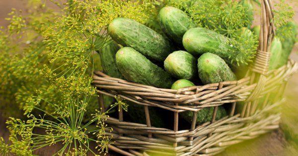 Как посадить рано огурцы