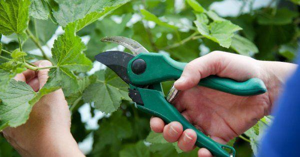 Размножение смородины зелеными черенками летом