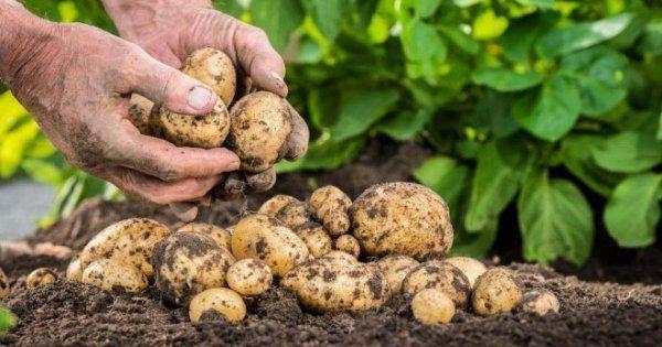 Удобрения для картофеля виды как применять календарь внесения подкормок