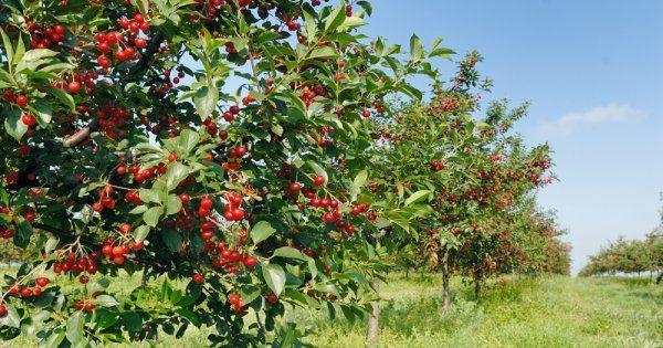 Как посадить вишню саженцами летом весной или осенью правильно