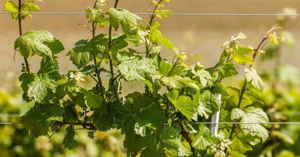 Зимний уход за виноградом