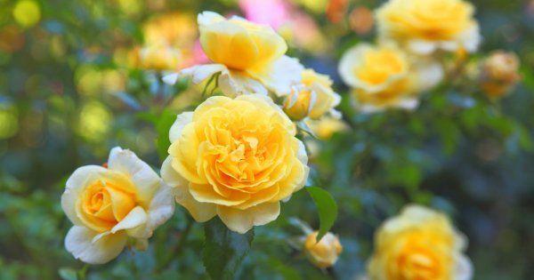 Розы патио сорта и виды