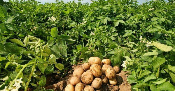 Сажаем картофель: когда можно приступать. Как посадить картофель, чтобы иметь гарантированный урожай клубней