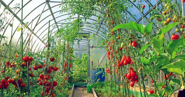 Соседство овощей в теплице из поликарбоната