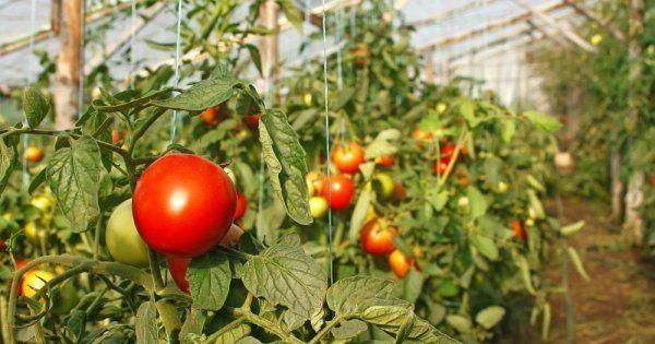 Посадка и выращивание помидоров в теплице