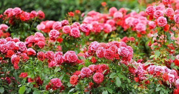 Дизайн розария в саду