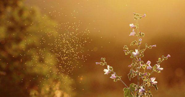 Растения от комаров на даче. Какие растения отпугивают комаров: травы, деревья и цветы Мята отпугивает комаров