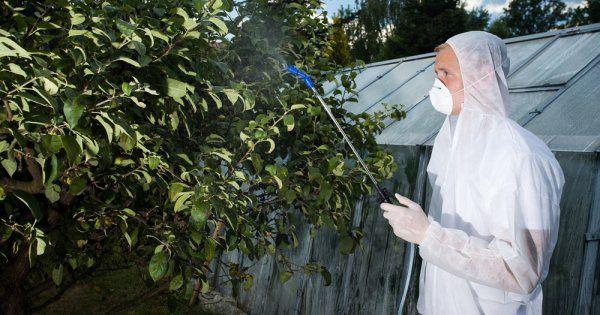 Как правильно опрыскивать грушу от вредителей