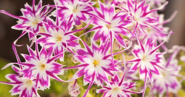Флокс Друммонда - выращивание из семян: когда сажать и каким способом, популярные сорта растения