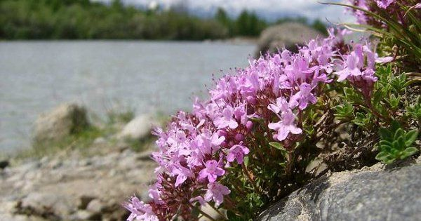 Тимьян характеристика выращивание и борьба с вредителями
