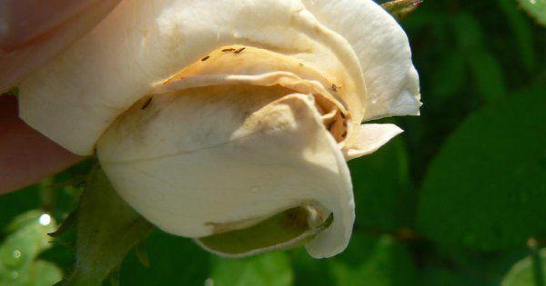 Трипсы. Как боротся с вредителем на цветах, огурцах, розах и др. растениях