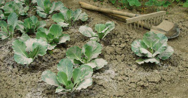 Зола как удобрение: когда вносить осенью или весной, применение