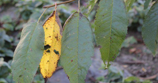 Коккомикоз вишни угроза вашему саду